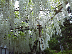 白旗神社藤-2.png
